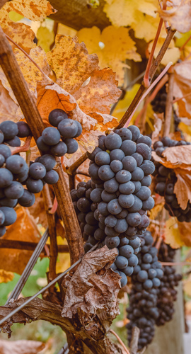 grapes-in-fall